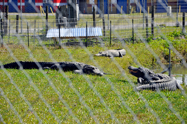 three live alligators