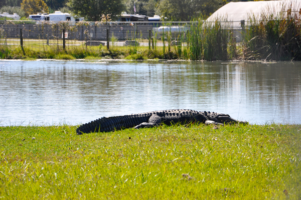 a big alligator